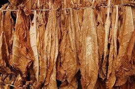 dried tobacco leaf